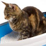 Как вылечить цистит у кошек — советы профессионалов