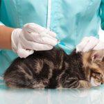 Когда котятам можно делать первую прививку?
