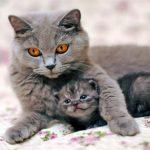 Сколько рожает кошка в первый раз — как принять роды