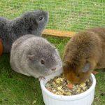 Морские свинки едят