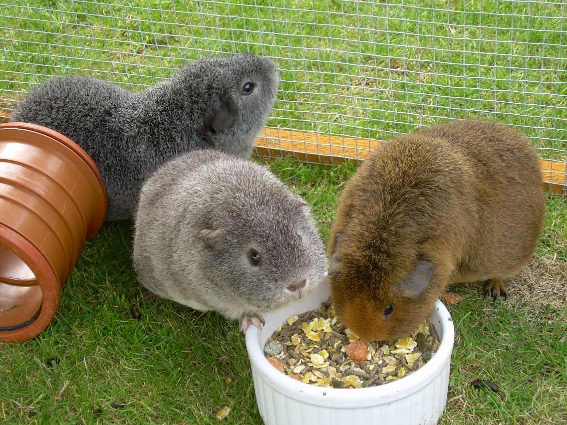 Чем не кормить морских свинок в домашних условиях 451