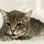 Что нужно делать, если у кошки открылась рвота
