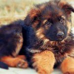 Чем кормить щенка немецкой овчарки — лучшие продукты