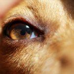 Что делать если у собаки гноятся глаза — причины, симптомы и лечение