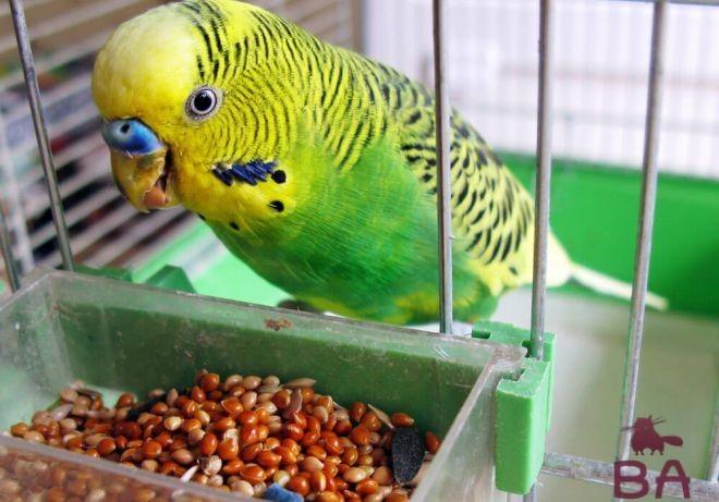Попугай и зерно