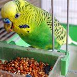 Попугай и еда