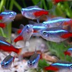 Как правильно ухаживать и содержать аквариумных рыбок «Неоны»