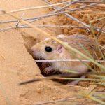 Песчанка — как правильно ухаживать за грызуном в домашних условиях