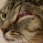 Блефарит у кошек — причины, симптомы, профилактика и лечение запущенной стадии