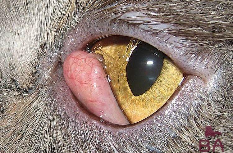 Блефарит у кошек лечение в домашних условиях