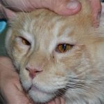 Болезни глаз у кошек — виды заболеваний и их лечение
