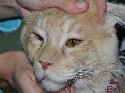 Болезнь глаз у кошек