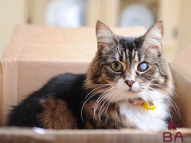 Катаракта у кошек