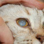 Катаракта у кошек — причины, симптомы, лечение и профилактика заболевания