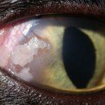 Кератит у кошек — признаки, симптомы, лечение и профилактика