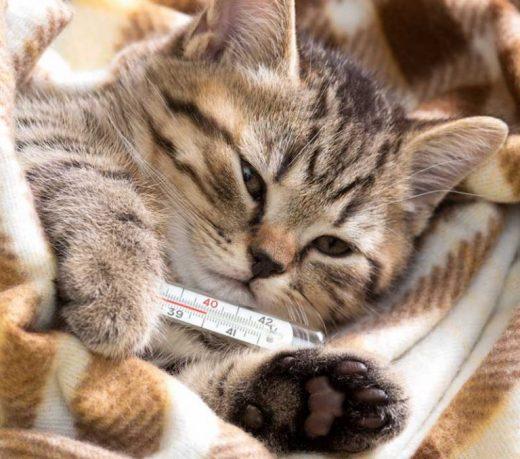 Температура тела кошки