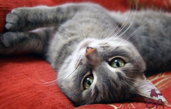 Почему у кошки на животе выпадает шерсть: у кота лысеет пузо и задние лапы