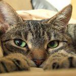 Что делать, если у кошки началась эпилепсия?