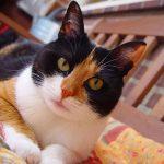 Течка у кошек: что это такое, симптомы и как помочь кошке