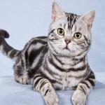 Особенности американской короткошерстной породы кошек