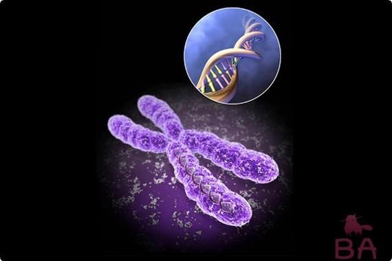 Хромосомы кошки