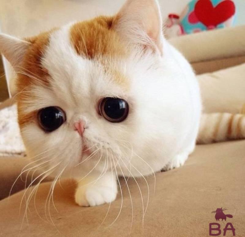 Японский кот