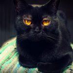 Бомбейская кошка: описание и особенности породы