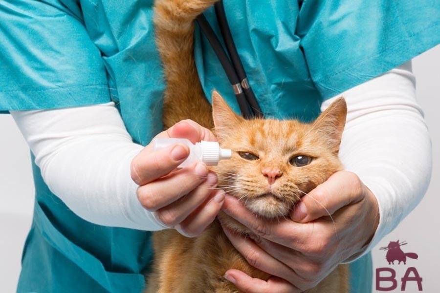 Кератит у кошек: лечение, фото