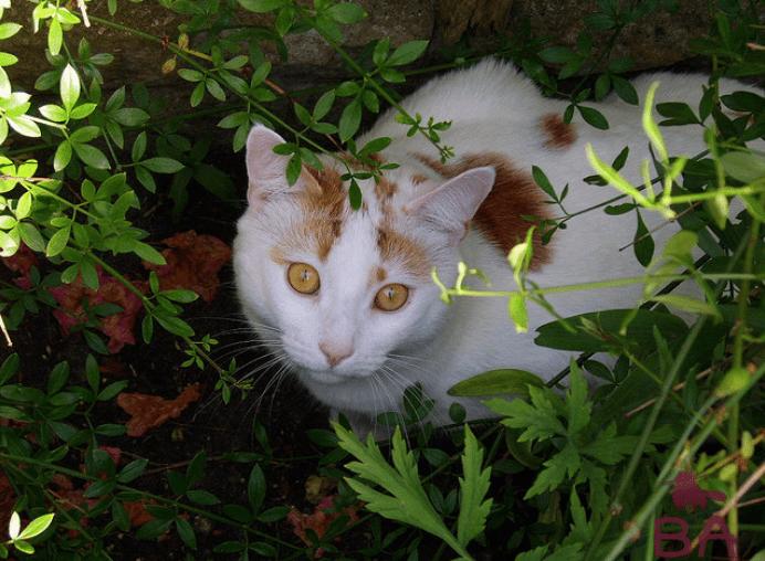 «Особенности породы Анатолийской кошки, уход и воспитание» фото - 7bbc7c8cb9f30206d9db2630ad94f6a6