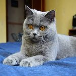 Обзор породы Картезианской кошки: особенности внешнего вида и ухода