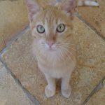 Все о Бразильской короткошерстной породе кошек