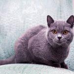 Британская короткошерстная порода кошек: особенности характера и ухода