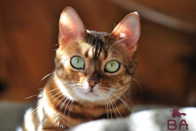 «Особенности породы Анатолийской кошки, уход и воспитание» фото - s1200 5