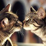 Как происходит вязка кошек: основные правила и особенности