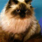 Обзор породы Гималайской кошки: происхождение, внешний вид, характер и уход