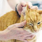 Чистка ушей кошке: как и чем чистить уши кошке дома правильно