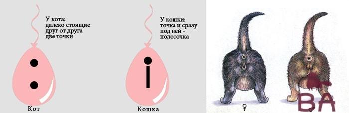 kak-otlichit-kota-ot-koshki