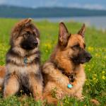 Немецкая овчарка: описание породы, правила ухода и содержания