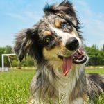 Австралийская овчарка: описание породы, происхождение, уход и воспитание