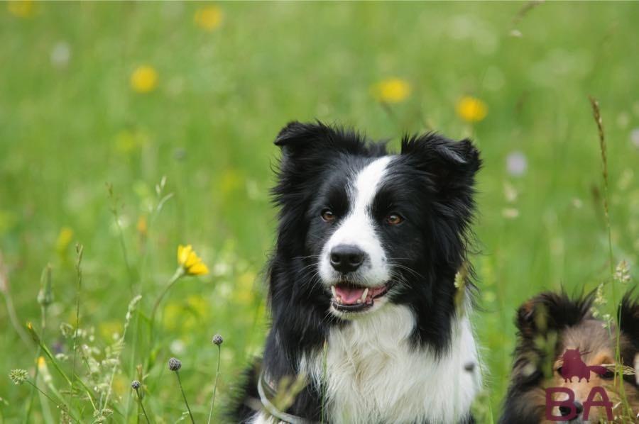 «ТОП-10 самых умных пород собак» фото - border kolli foto 5