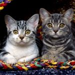 Стоит ли заводить двух взрослых кошек в квартире?