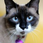 Порода кошек Сноу-Шу: описание, уход и здоровье, цена