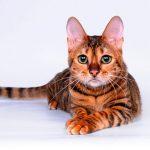 Тойгер: описание породы кошек, происхождение, уход и здоровье