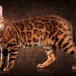 Порода леопардовый кот: описание, уход и здоровье, стоимость