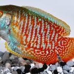 Рыбки лялиусы — описание, содержание, разведение и стоимость