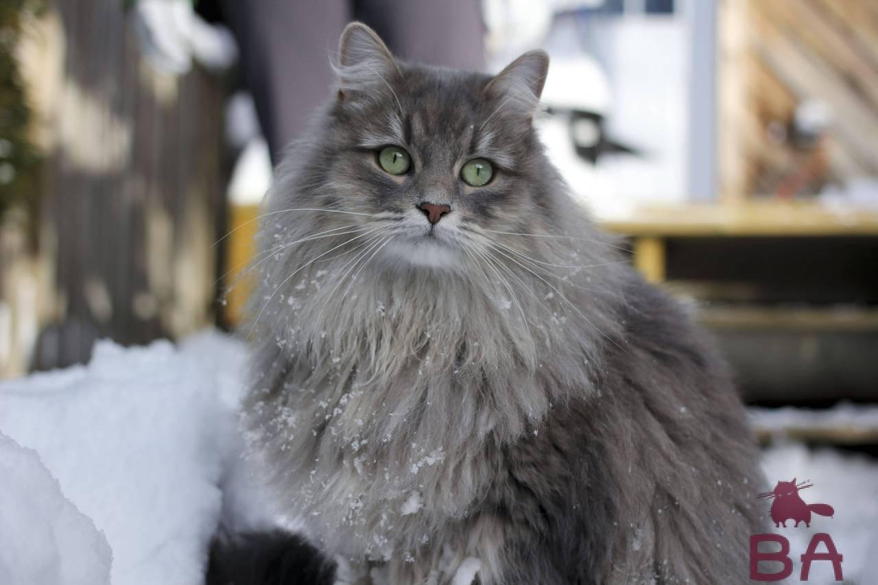 «Какая порода кошек считается самой ласковой?» фото - Sibirskaya koshka 2
