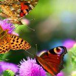 Продолжительность жизни бабочек — интересные факты
