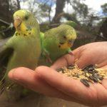 Как приучить попугая к рукам?