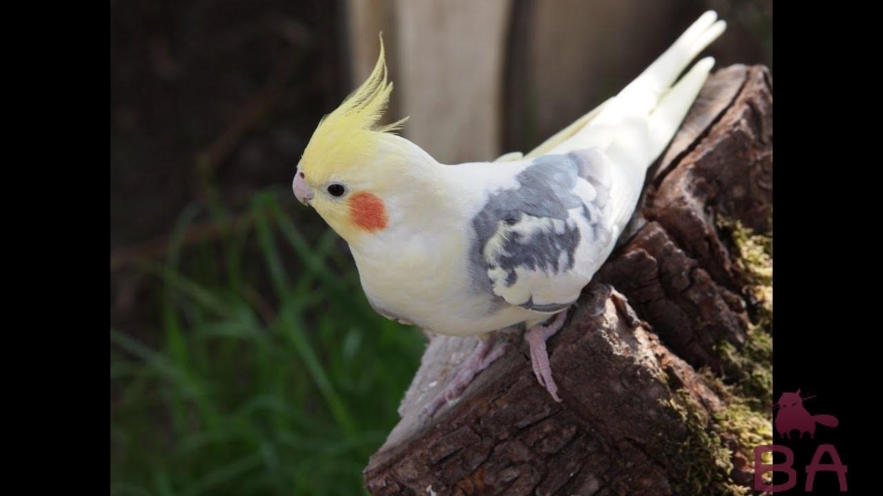 Волнистые попугаи с хохолком