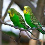 Как у волнистого попугая определить пол?